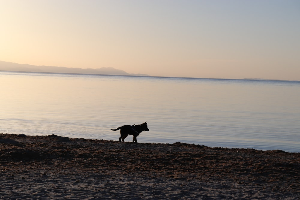 black short coat dog standing on brown sand near body of water during daytime