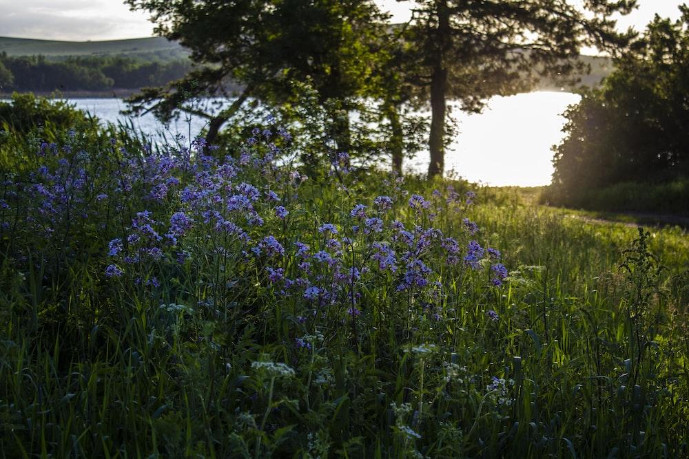 purple flower field near green trees during daytime