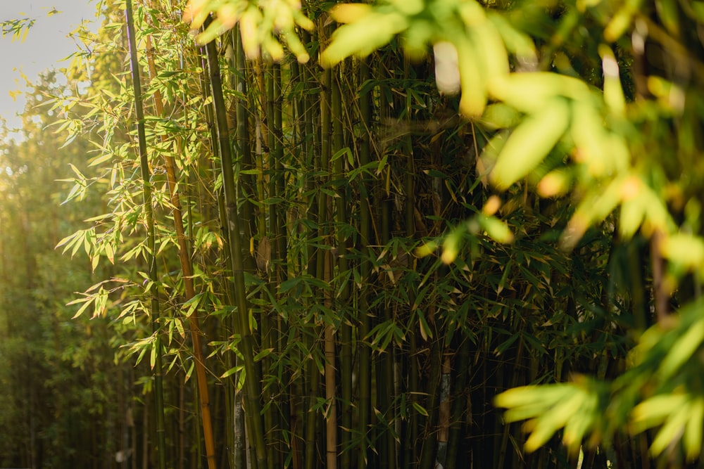 green bamboo plants during daytime