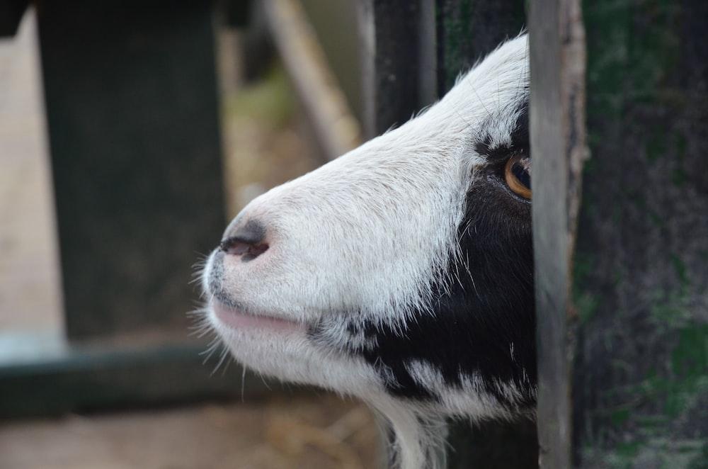 white and black cow in tilt shift lens