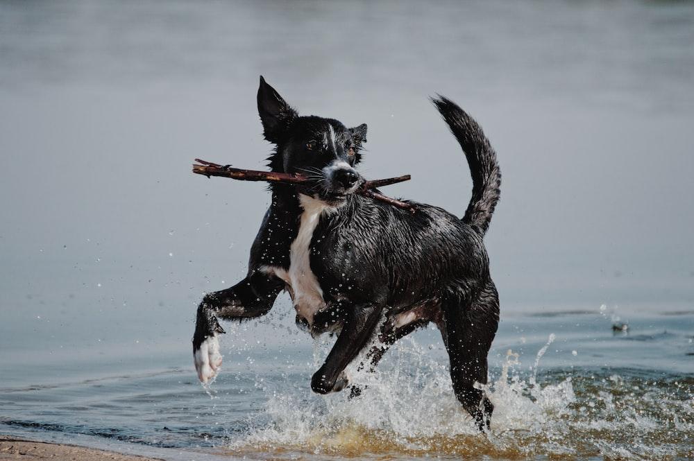 black and white short coat medium dog running on water during daytime