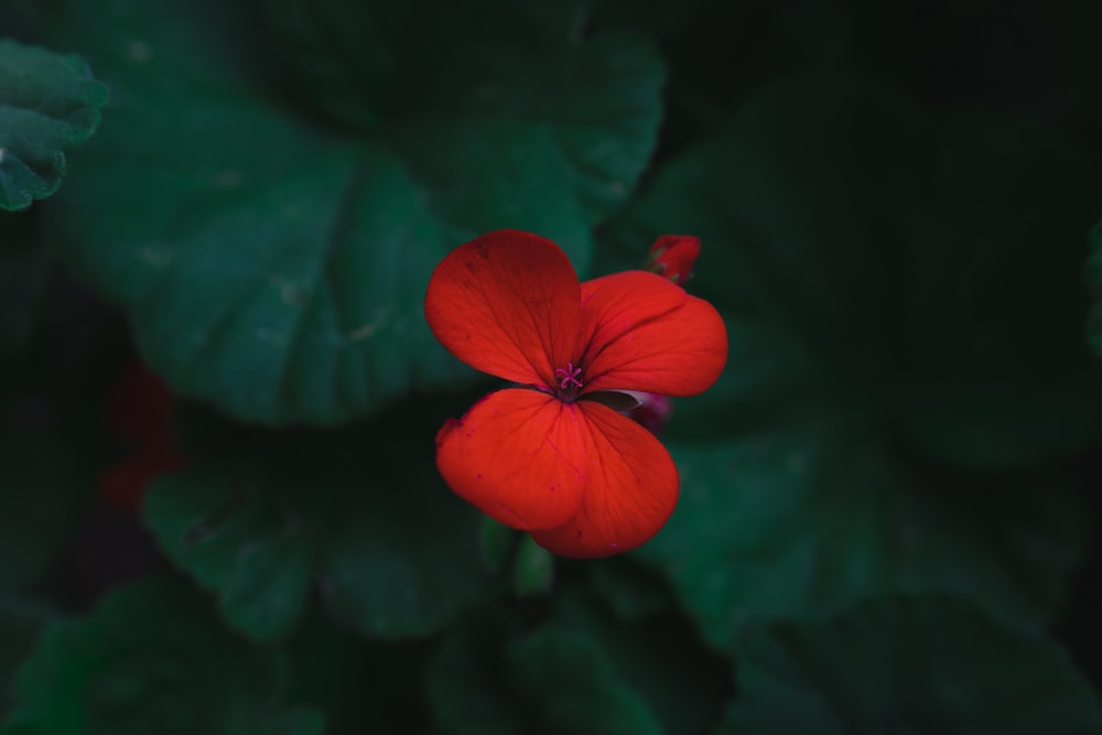 red 5 petal flower in close up photography