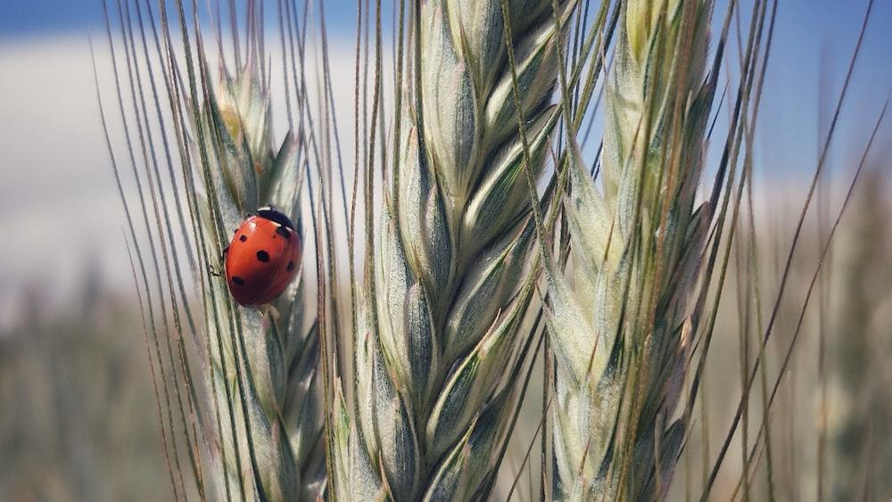 red ladybug on green wheat