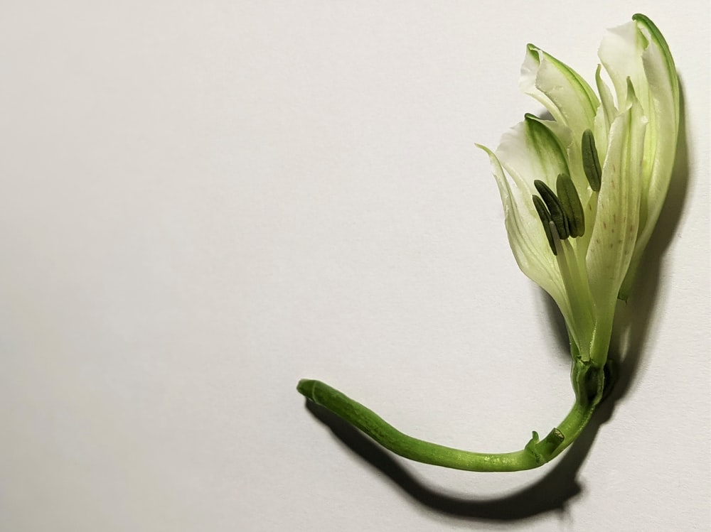 white and green flower bud
