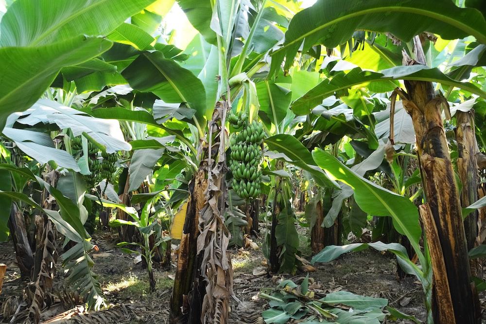 brown and green banana tree