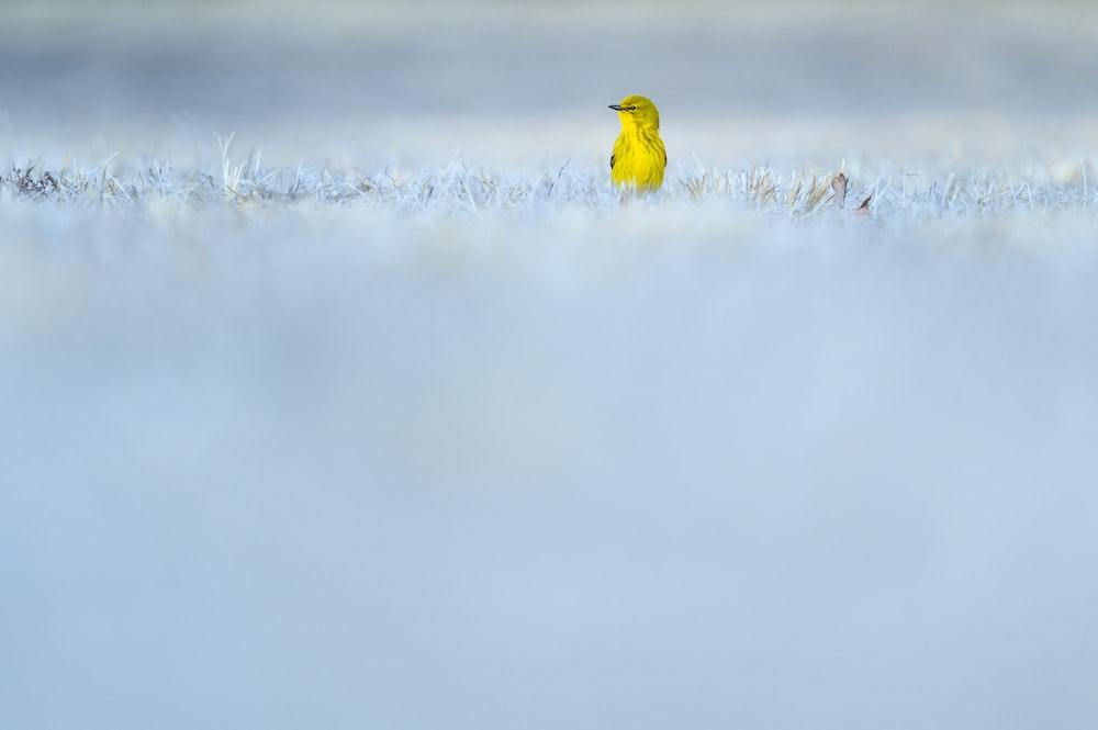 yellow bird on white snow