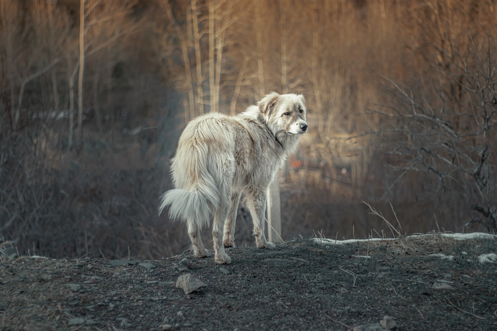 white and brown wolf walking on dirt ground during daytime