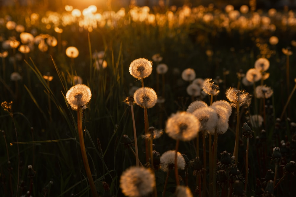 white dandelion in close up photography during sunset