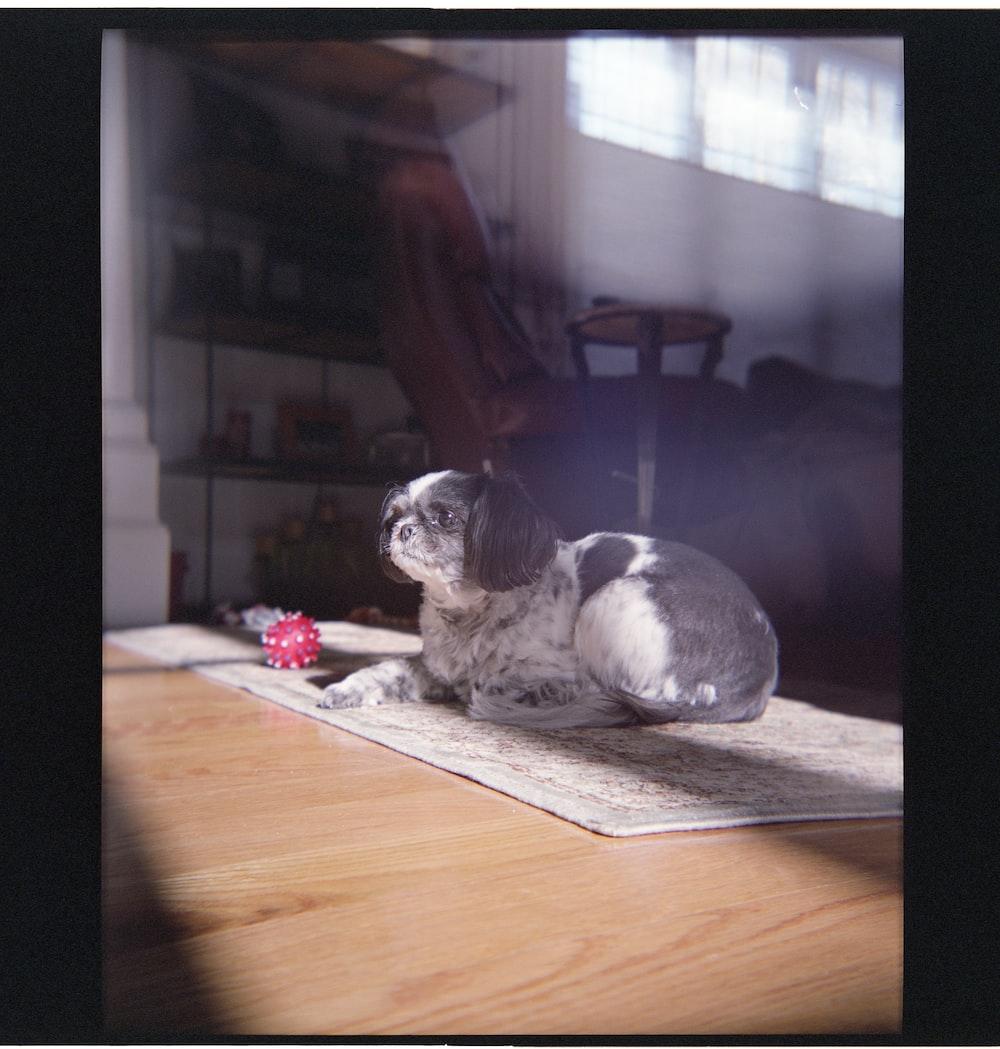 black and white short coated small dog