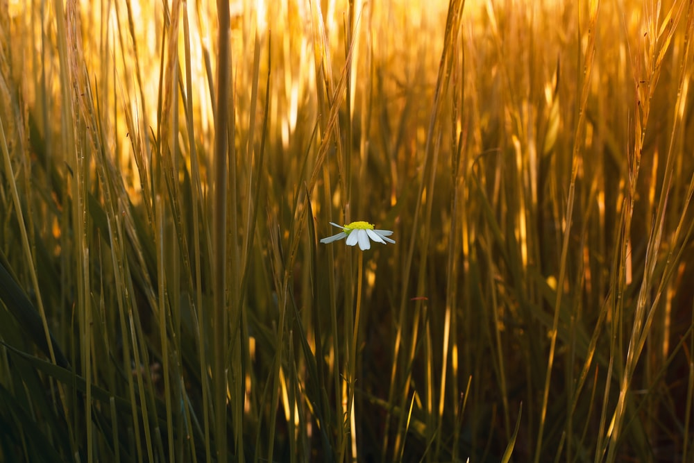 white flower on brown wheat field during daytime