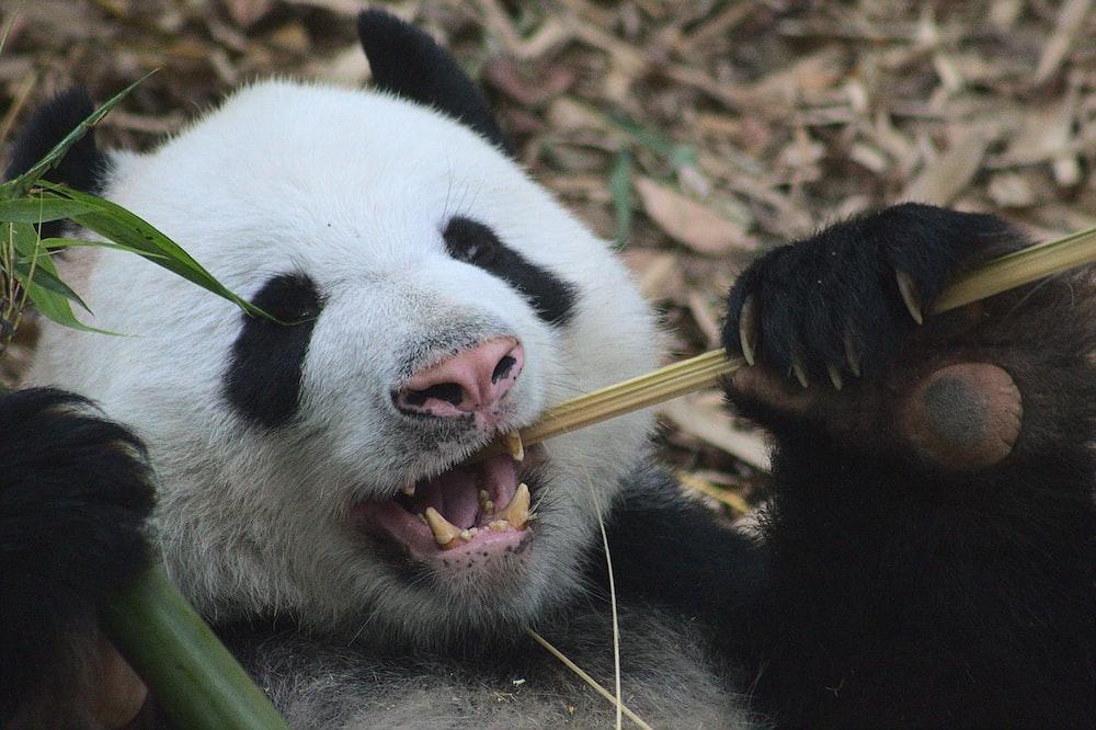 white and black panda eating black stick