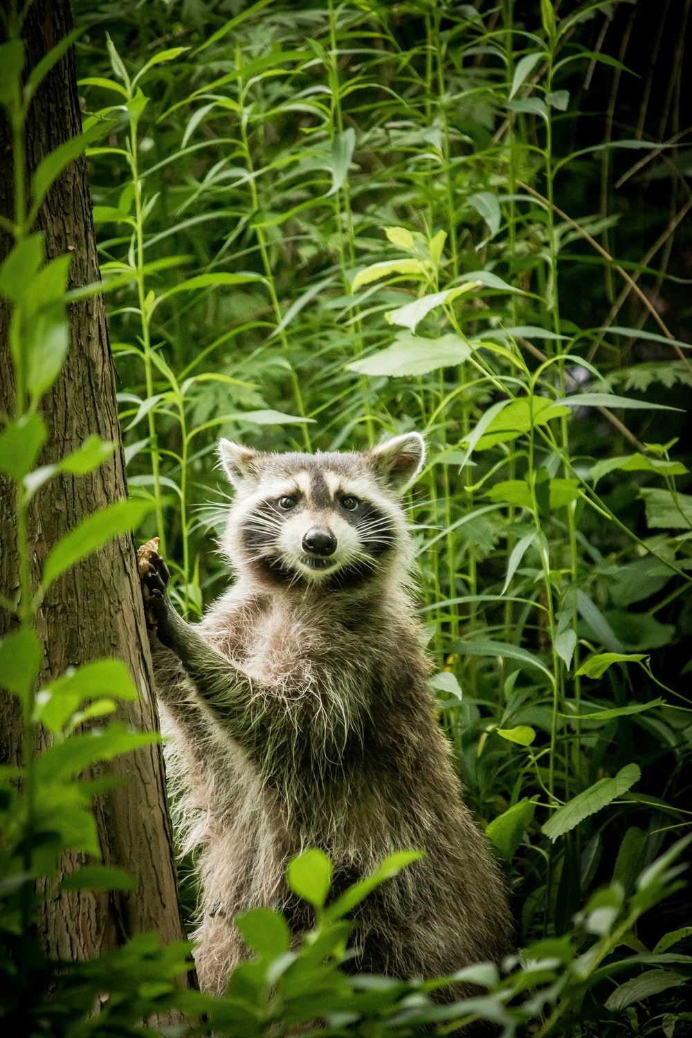 grey and white raccoon on brown wooden tree