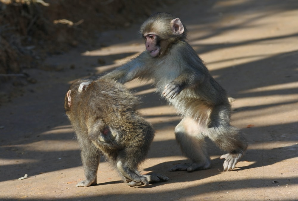 two brown monkeys on brown soil during daytime
