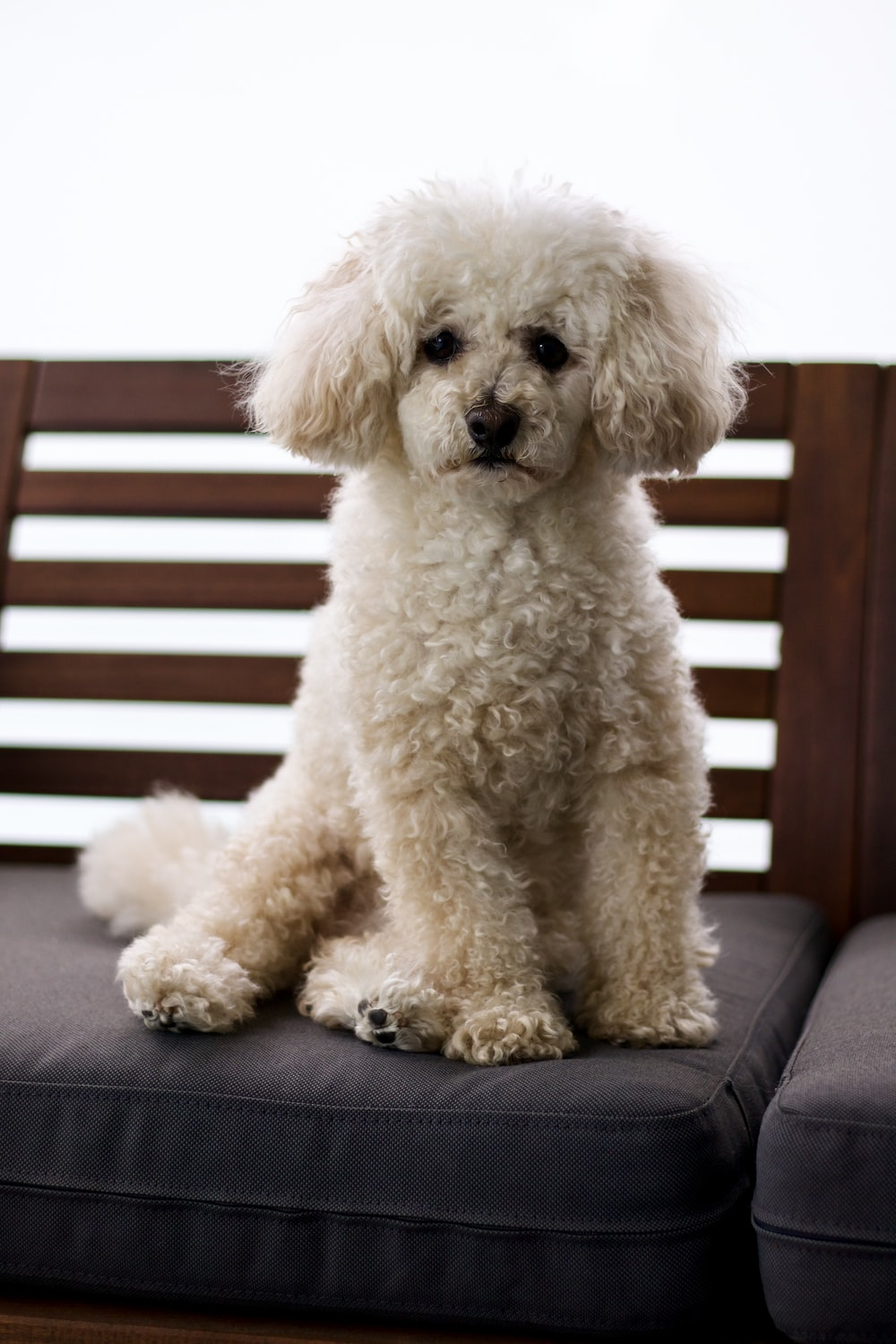 white poodle on brown wooden bench