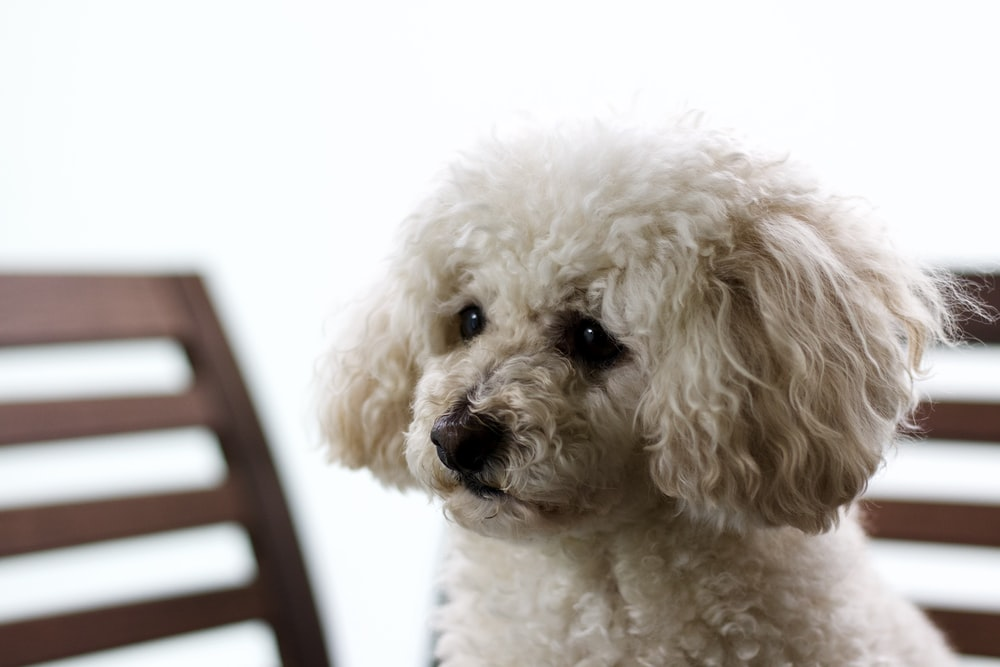 white poodle on black chair