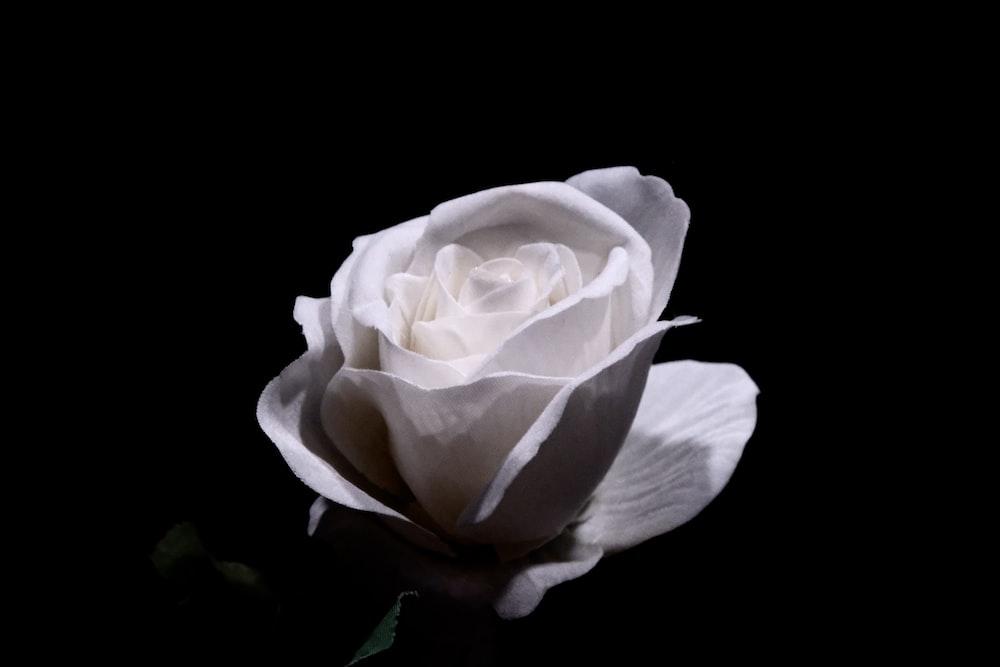 white rose in black background