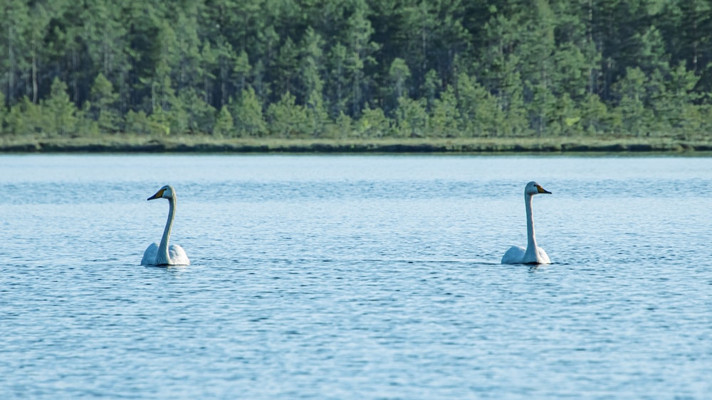 2 swans on water during daytime