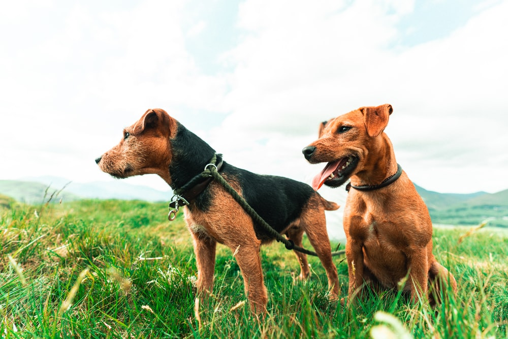 2 brown and black short coated dogs on green grass field during daytime