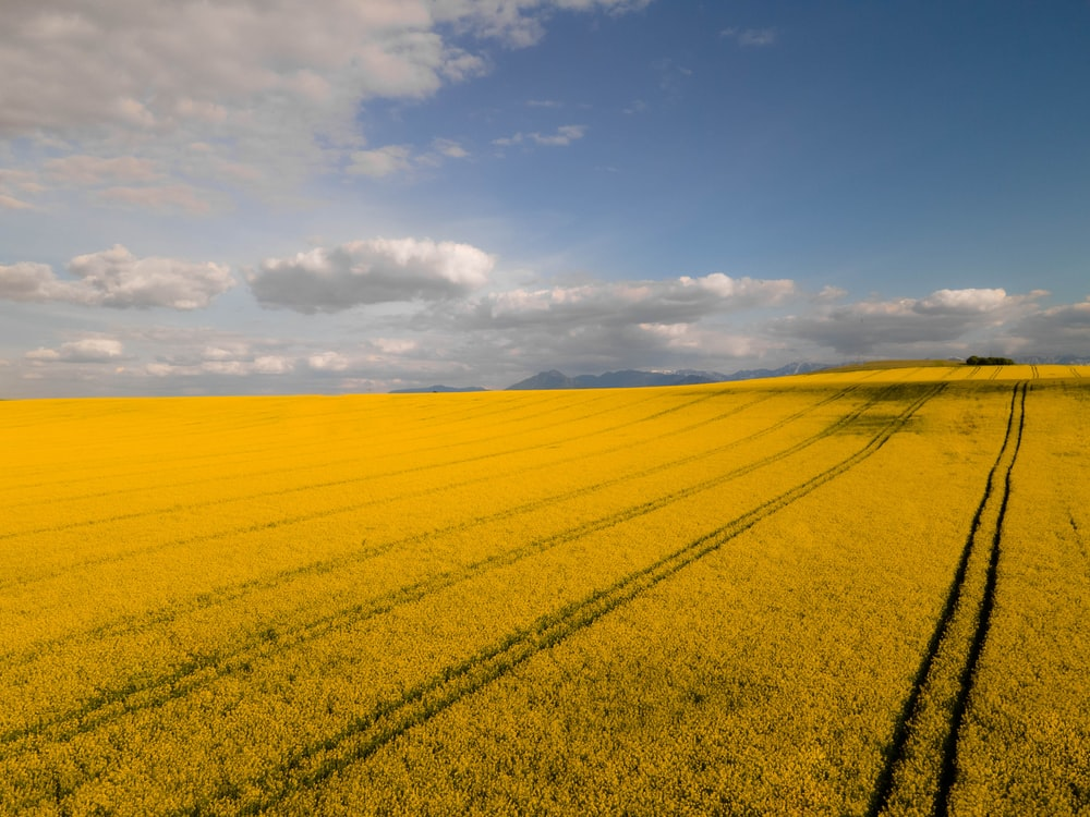yellow flower field under blue sky during daytime