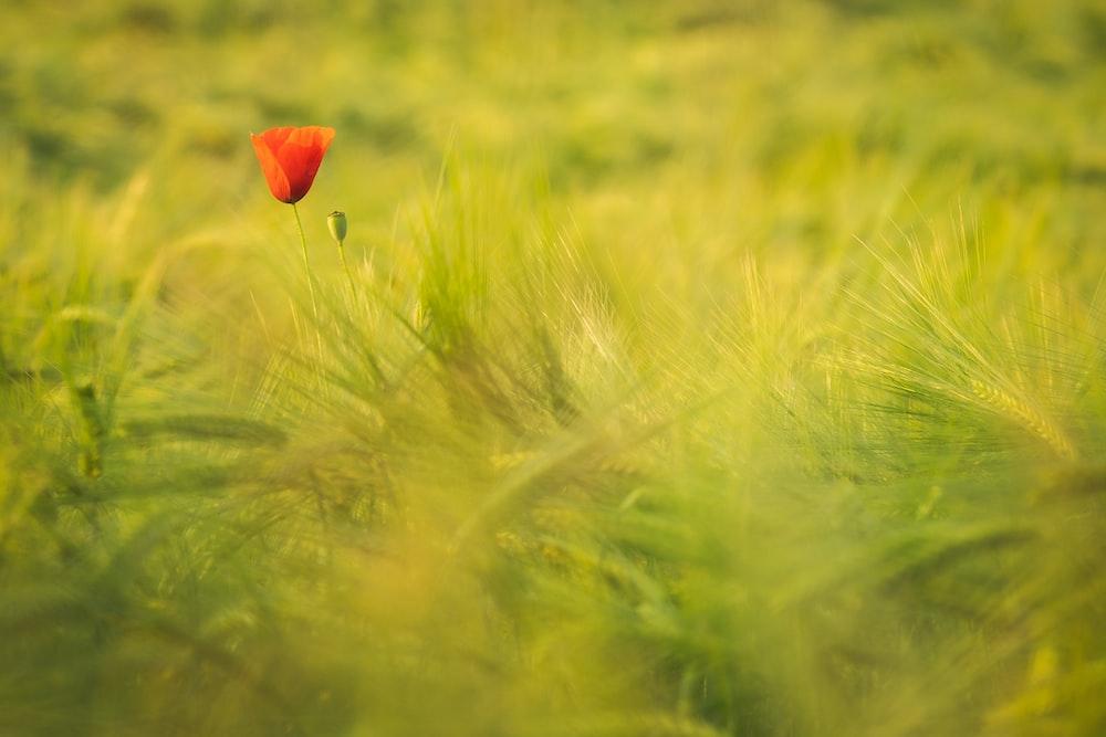 red flower on green grass