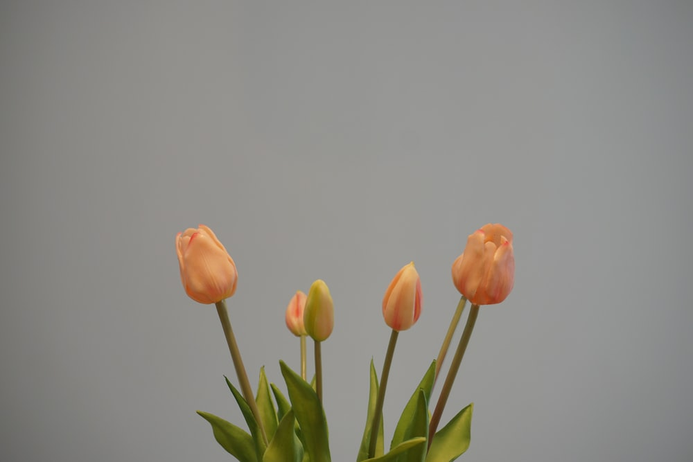 orange tulips in close up photography