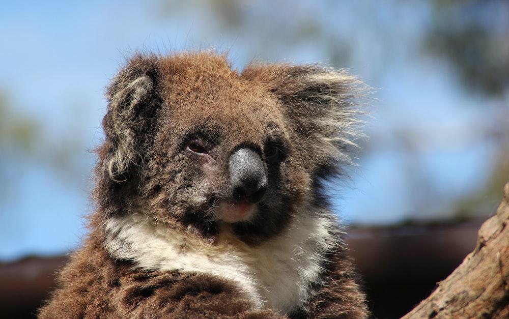 brown and white koala bear