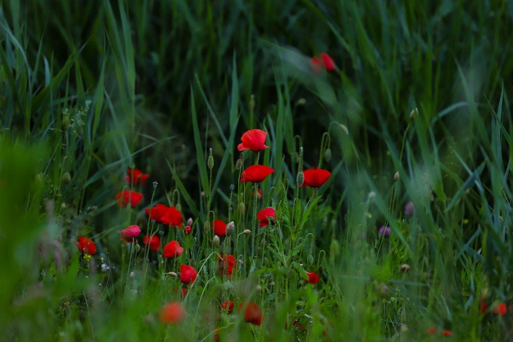 red flower in green grass field during daytime
