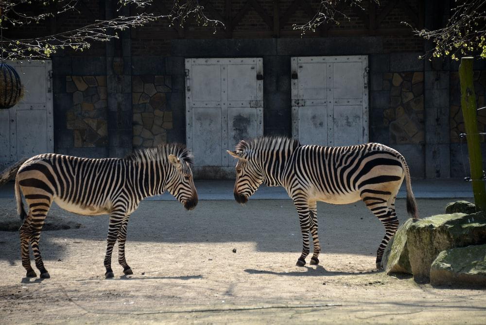 zebra standing on gray sand during daytime