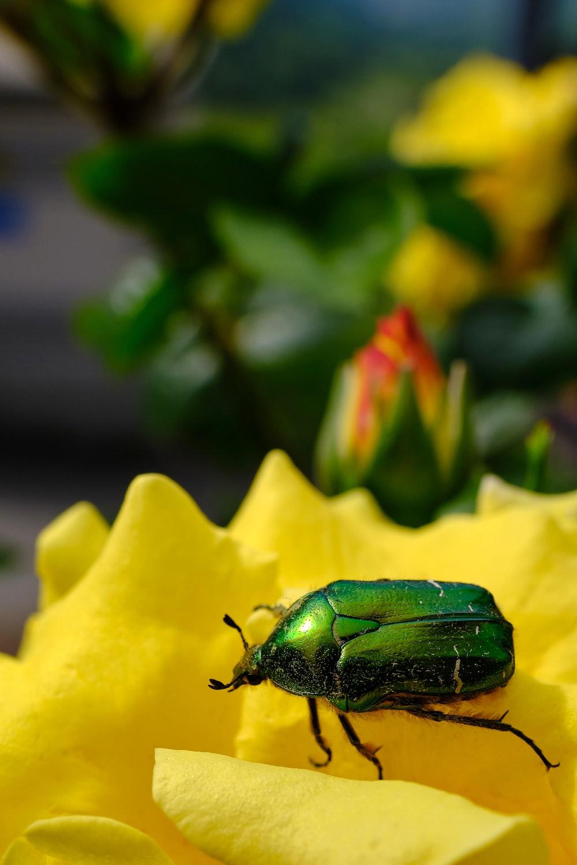 green beetle on yellow flower