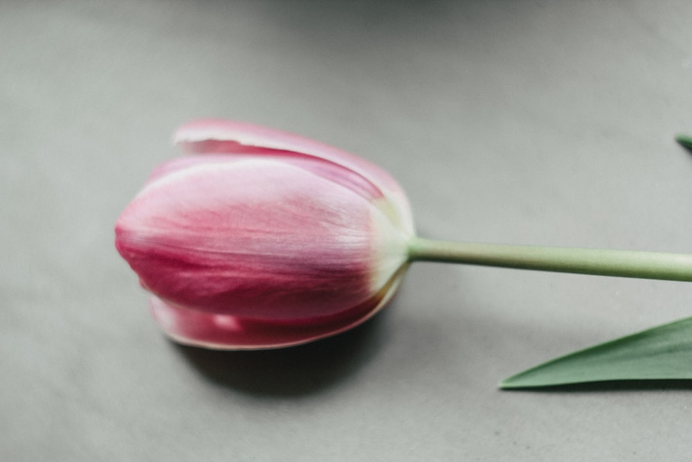 pink tulip flower on white table