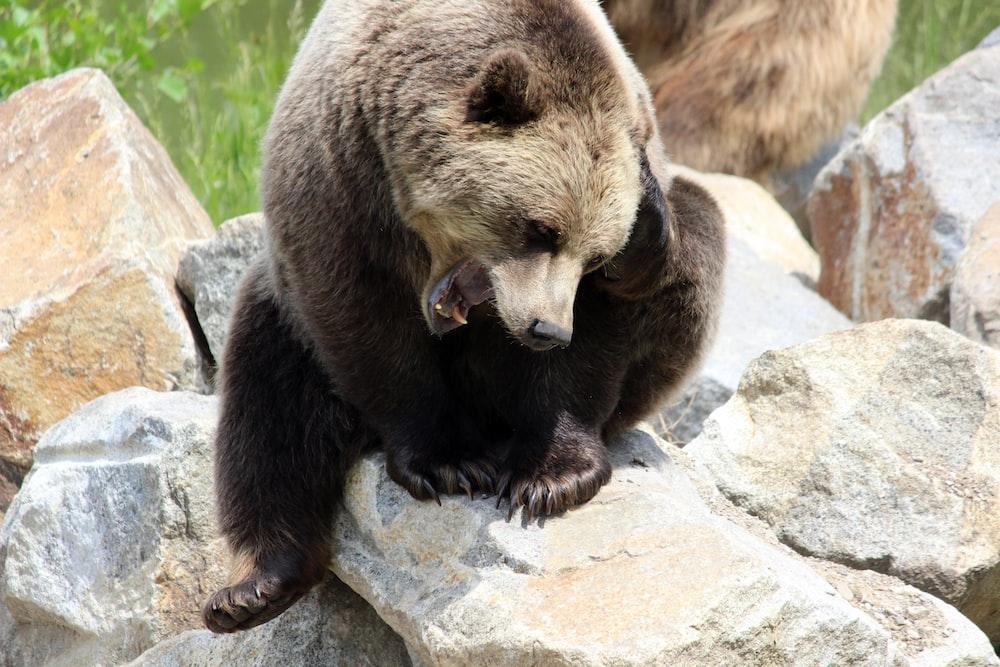 brown bear on gray rock