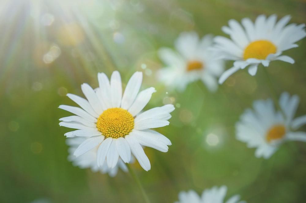 white daisy in tilt shift lens