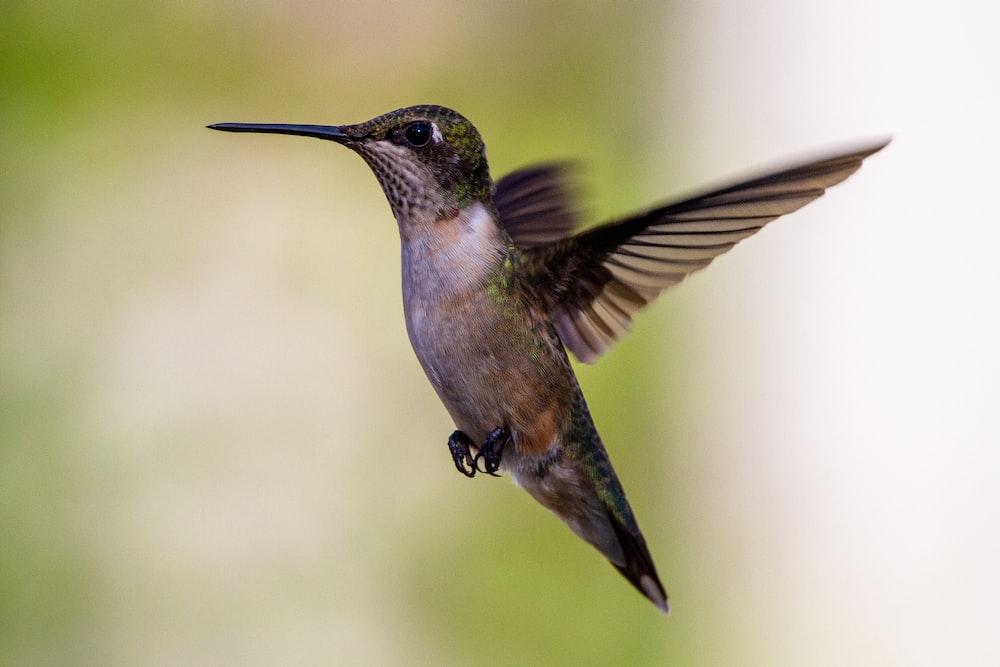 black and gray humming bird