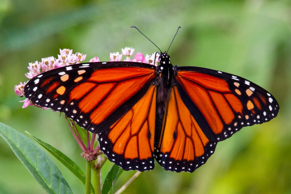 monarch butterfly perched on green plant during daytime