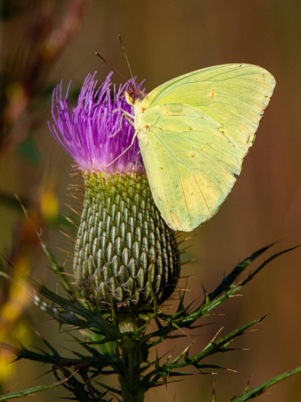 green butterfly on purple flower