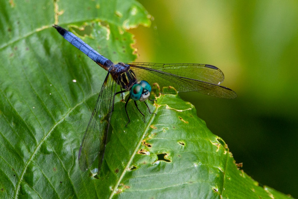 black and brown dragonfly on green leaf