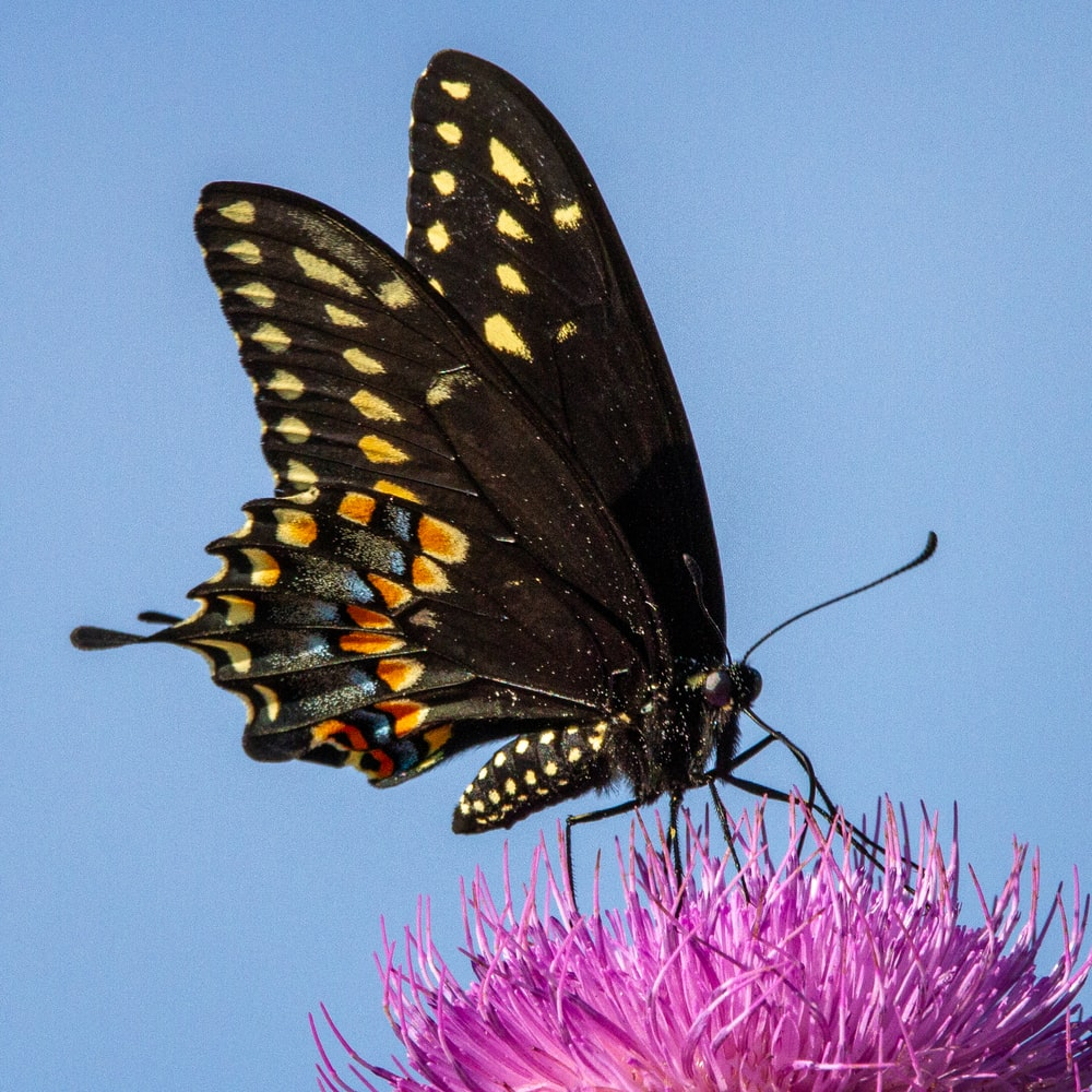 black and yellow butterfly perched on purple flower in close up photography during daytime