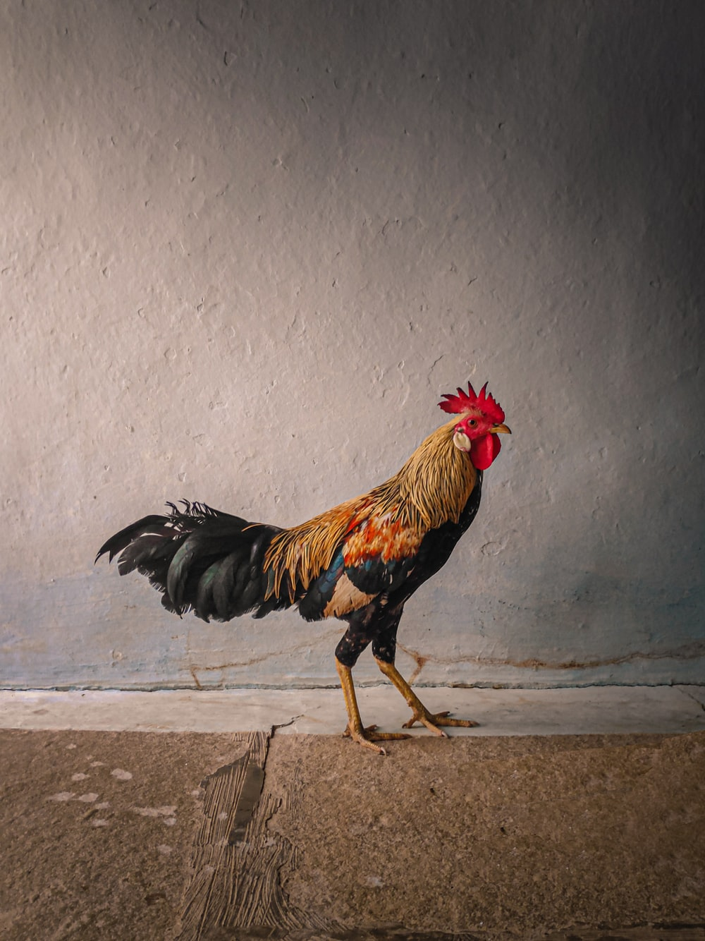 black and brown rooster on gray concrete floor