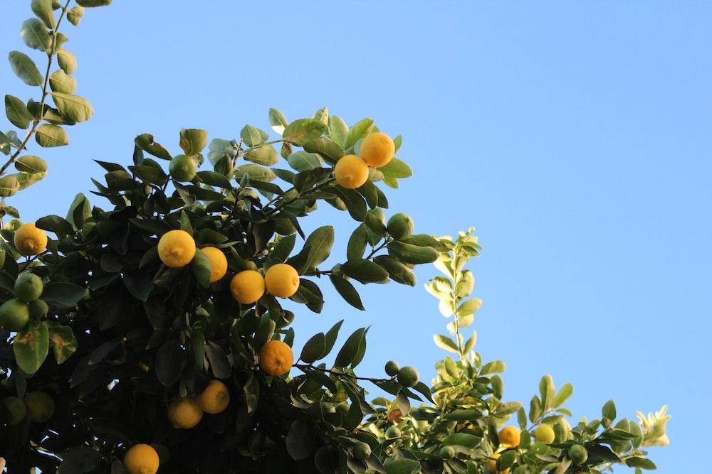 orange fruit on tree under blue sky during daytime