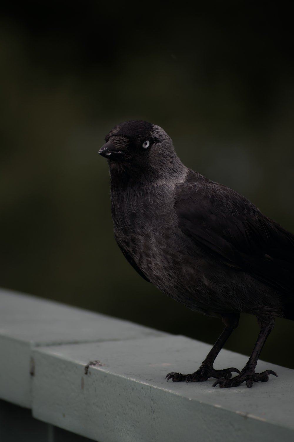 black and gray bird on white wooden table