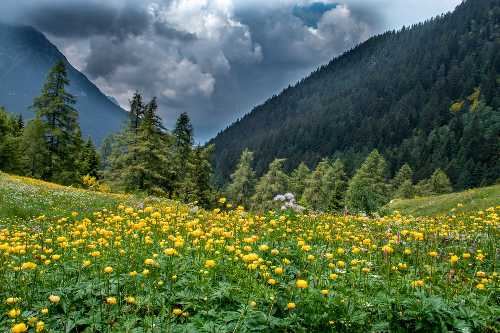 yellow flower field near green trees and mountain under white clouds during daytime
