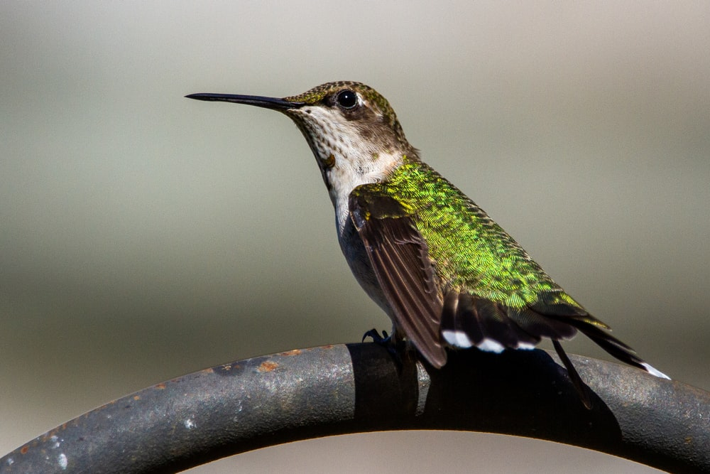 green and white humming bird on black branch