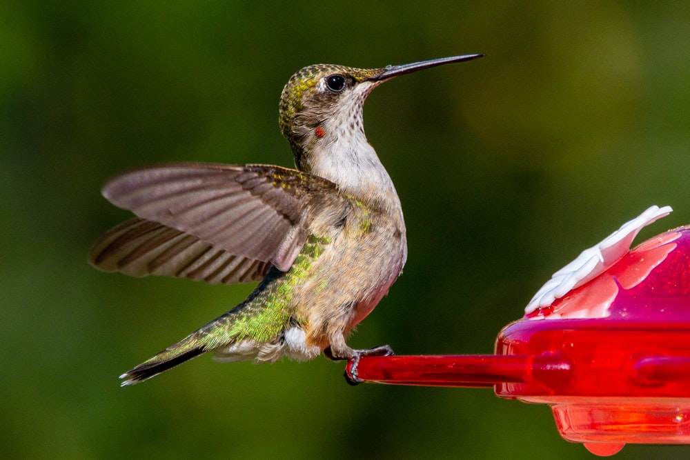 green and brown humming bird flying