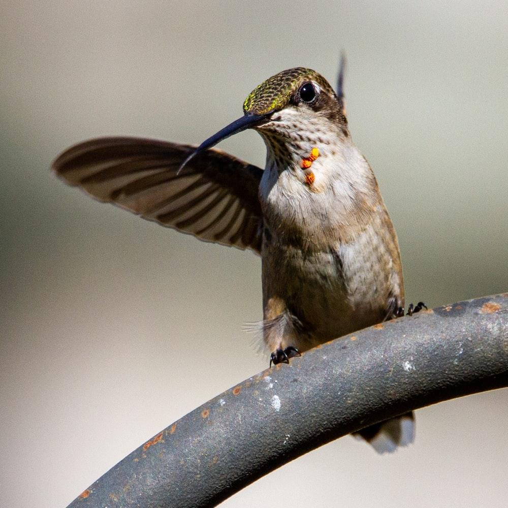 brown humming bird flying in mid air