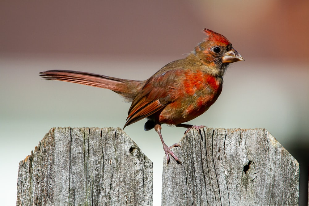 red cardinal perched on gray wooden fence during daytime