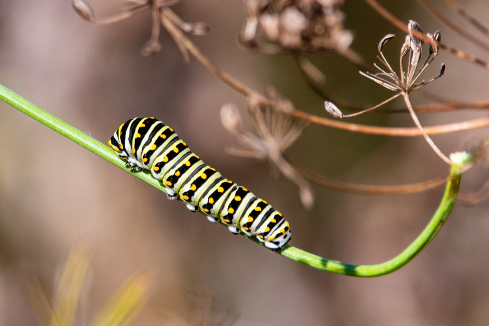 green and black caterpillar on brown stem