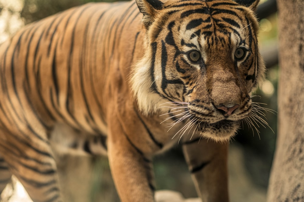 brown and black tiger cub