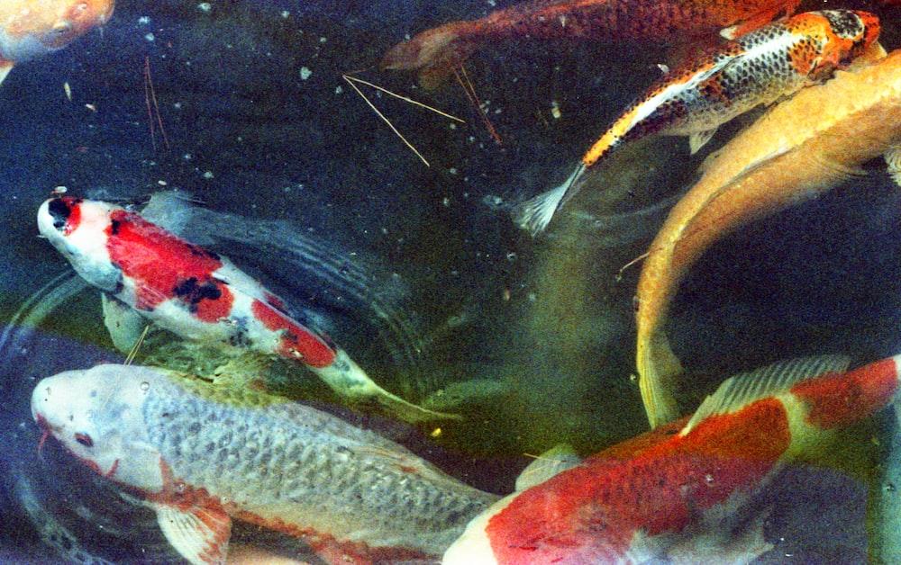 white and orange koi fish