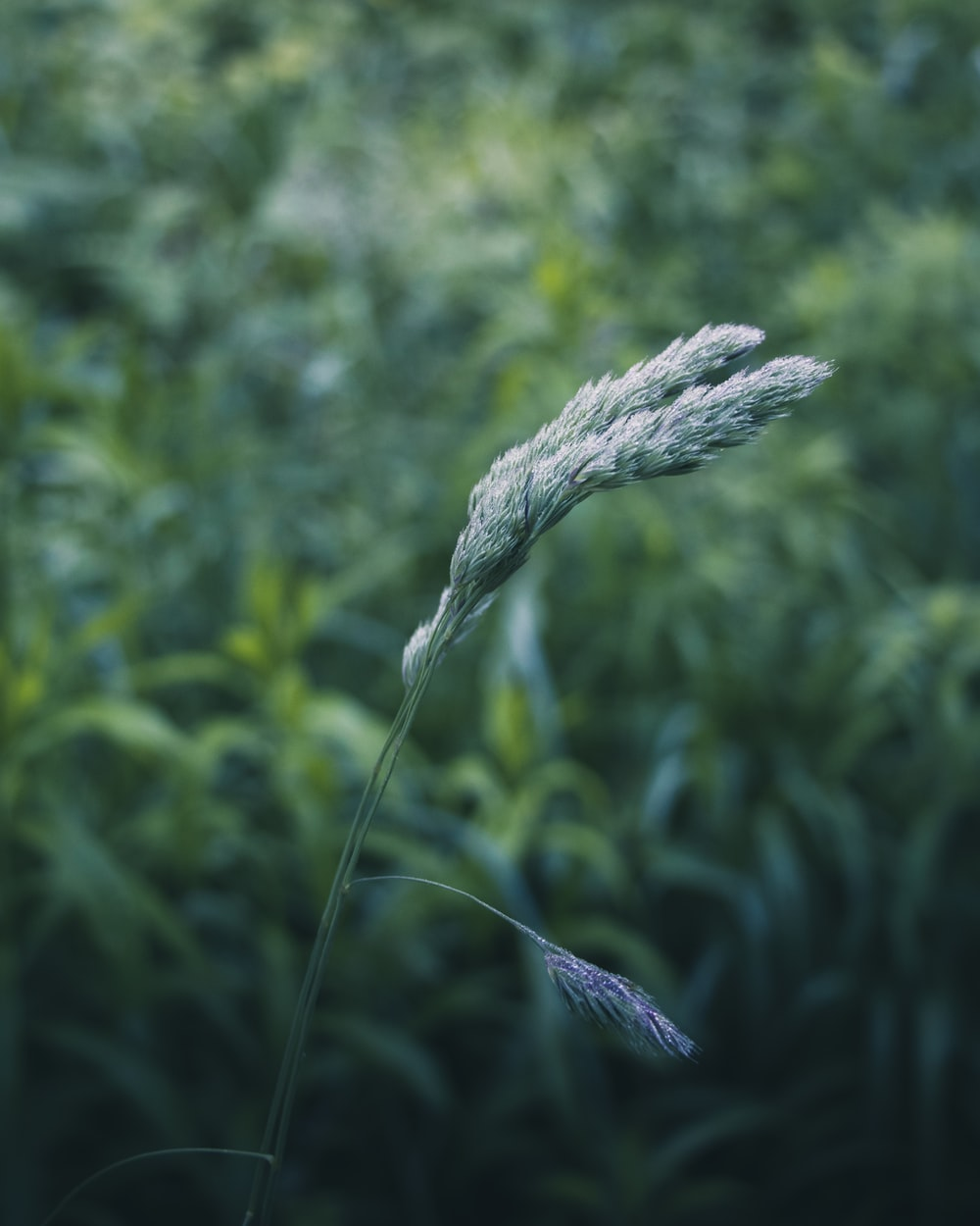 green wheat in close up photography