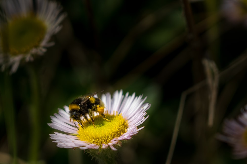 black and yellow bee on white and yellow flower